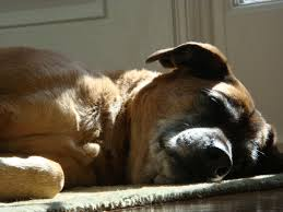 A Story Of Chemotherapy In An Older Dog With Cancer