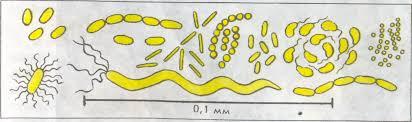 Реферат Методические особенности изучения темы Бактерии в  Методические особенности изучения темы amp quot Бактерии amp quot в школьном курсе биологии