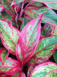 plants for windowless office. aglaonema plants for windowless office