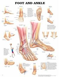 Ankle Bone Chart Foot And Ankle Anatomical Chart