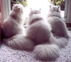 teacup persian cat. Contemporary Persian Teacup Persian Kittens For Sale Intended Cat I