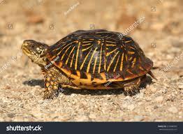 Western Box Turtle Terrapene Ornata Flint Stock Image