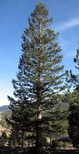 douglas fir pictures.  Douglas Douglas Firs Are One Of The Most Common Trees Found In Rocky Mountains  Beautiful Majestic And Longlived They Have Been Known To Survive For As Long  Intended Fir Pictures Q