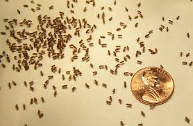 Small Gnats In Kitchen 2013 Year Of The Great Fruit Fly Infestation Fort Pelham Farm