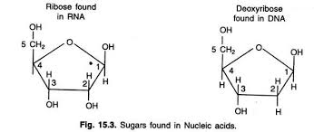 essay on dna meaning features and forms genetics sugars found in nucleic acids