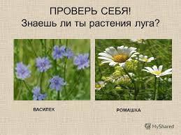 Презентация на тему ЛУГ И ЕГО ОБИТАТЕЛИ РАСТЕНИЯ ЛУГА  Знаешь ли ты растения луга ВАСИЛЕК РОМАШКА