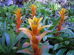 bromeliads used as a subtropical groundcover