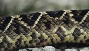 Black Snake With Diamond Pattern