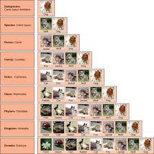 Dog Scientific Classification Chart Taxonomy Biology For Majors Ii