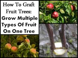 How To Graft Fruit Trees Grow Multiple Types Of Fruit On One TreeHow To Graft Fruit Trees With Pictures