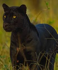 Black Panther Seating Chart National Geographic Live Shannon Wild Pursuit Of The Black Panther