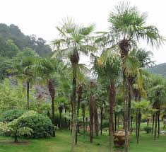 Trachycarpus fortunei - Wikipedia