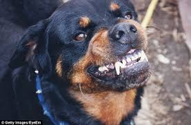 baby rottweiler. Perfect Rottweiler Police Rubbished Rumours Circulated Stock Image To Baby Rottweiler