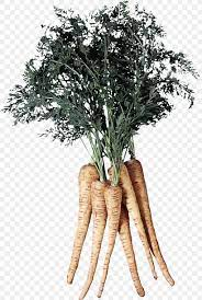 tree roots png 1421x2110px parsnip