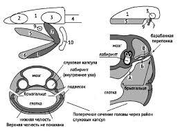 Нервная система и органы чувств земноводных Зоология Реферат  Рис 104 Развитие органов среднего уха слева акула справа земноводное 1 череп 2 обонятельная капсула 3 слуховая капсула 4 позвоночник