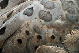 feather patterns cape barren goose feather patterns skye hohmann photography and