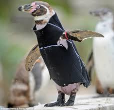 featherless penguin. Simple Penguin Penguin In Featherless Penguin C