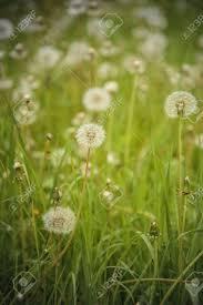 tall green grass field. Beautiful Field Of Dandelion Flowers In A Tall Green Grass Meadow Stock Photo - 96232788 N