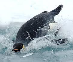 emperor penguin predators and prey. Exellent Emperor Emperor Penguin And Penguin Predators Prey N