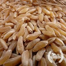 Kamut style Wheat - Heirloom Seeds: Sustainable Seed Company