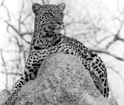 African Leopard   Wondrous Nature