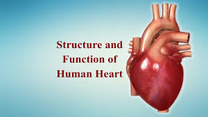 structure of heart human heart structure and function heart structure heart structure and function