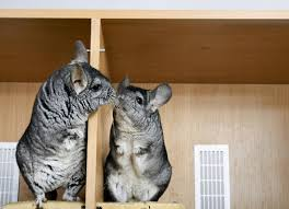 Caring For A Chinchilla What You Need To Know