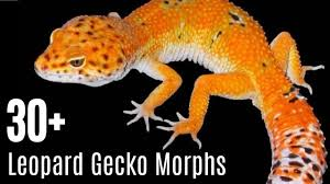 Leopard Gecko Morph Chart Leopard Gecko Morphs