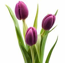Картинки по запросу фиолетовый тюльпан