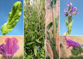 Echium plantagineum L. - Sistema informativo sulla flora del parco ...