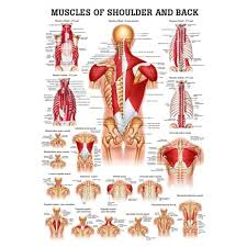 Laminated Anatomical Charts Muscles Of The Shoulder And Back Laminated Anatomy Chart