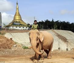 white elephant animal. Simple Animal Burma Currently Has Eight White Elephants In Captivity Most From The  Ayeyarwaddy Region Five And White Elephant Animal C