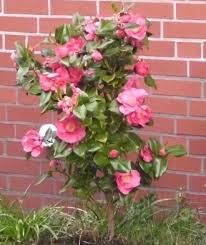 SNG Shrubs Correa  FuchsiaShrub With Pink Flowers