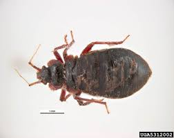Bed bug sizes Baby Bed Bug Size Pestseek How Big Are Bed Bugs Size Guide Pestseek