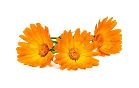 Billedresultat for morgenfruer blomster