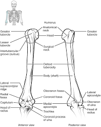 Bones Of The Upper Limb Anatomy And Physiology