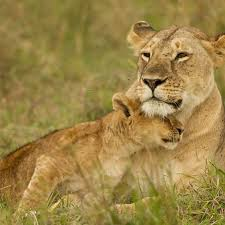 african lion panthera leo lioness