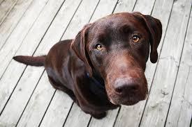 chocolate labrador retriever. Throughout Chocolate Labrador Retriever