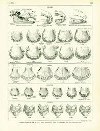 1922 Antique Animal Anatomy Print Domestic Animals Teeth Identification Chart Larousse Large Size Print French Vintage