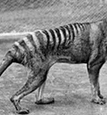 the thylacine or tasmanian tiger was australia s top land predator until the dingo arrived