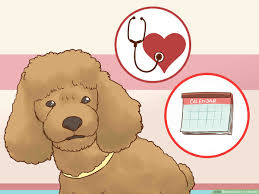 Toy Poodle Feeding Chart How To Care For A Poodle 14 Steps With Pictures Wikihow