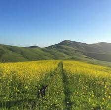 behind cal poly the rolling hills of poly canyon are blooming with wildflowers photo