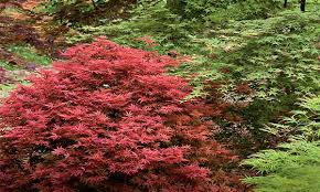 Japanese Maple Growth Chart How To Select The Right Japanese Maple Grow Beautifully