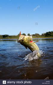 largemouth bass jumping. Perfect Largemouth Largemouth Bass Jumping Out Of The Water  Stock Image Throughout Bass Jumping T