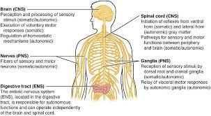 Cns And Pns Chart Difference Between Central And Peripheral Nervous System