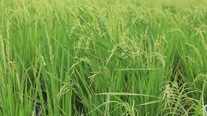 tall green grass field. Rice Field In The Philippines - HD Stock Footage Clip Tall Green Grass C