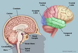 Brain Human Anatomy Picture Function Parts Conditions