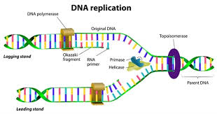 Dna Replication Definition Dna Replication In Brief Summary Information A Level Notes