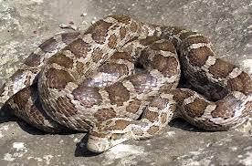 Black Snake With Diamond Pattern Simple Decoration