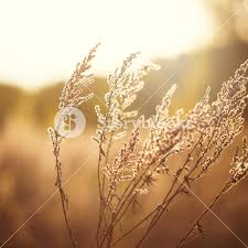 dry grass field background. Dry Meadow Flowers In Field On Forest Nature Background Grass